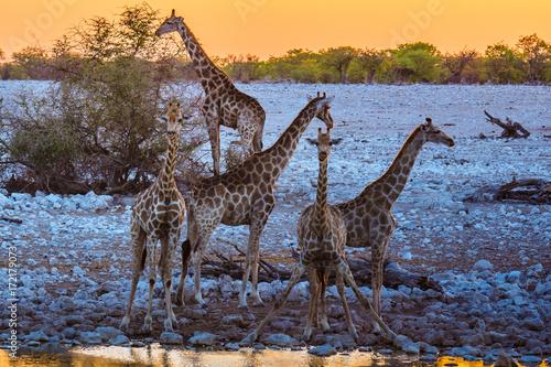 Plakat Żyrafa pije na waterhole, etosha nationalpark, namibia, (giraffa camelopardalis)