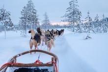 Riding Husky Sledge In Lapland Landscape