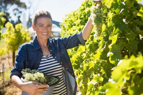 Fotografia  Portrait of happy vintner harvesting grapes in vineyard