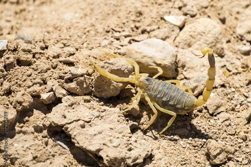 Scorpion deathstalker from the Negev desert took a defensive stance (Leiurus quinquestriatus)