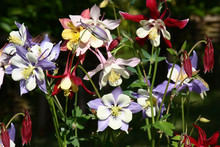 Different Color Of A Aquilegia./In One Place Of A Flower Bed Aquilegia With Flowers Of Different Colors Blossom.