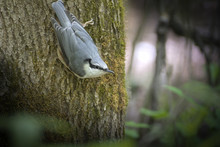 White-breasted Nuthatch On A T...