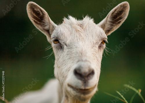 Plakat piękne zdjęcie portretu kozy