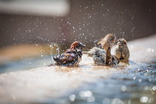 Beautiful Photo Of A Sparrow Who Is Bathing