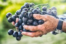 Grapes Harvesting. Black Or Blue Bunch Grapes In Hand Old Senior Farmer