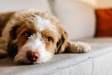 Cute Dog Resting On A Sofa