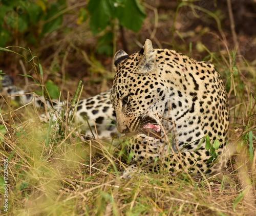 Plakat Lampart je impala nogę Południowa Afryka.