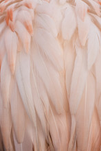 Pink Feathers Of Flamingo