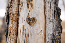 Heart Carved Into Aspen Tree
