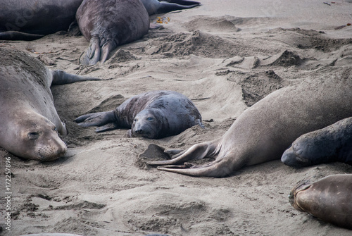 Photo  Elephant Seal Mother and Pup