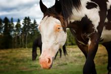 Appaloosa Horse With Blue Eye