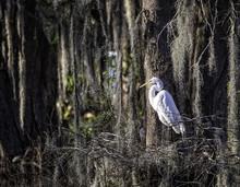 Egret Standing In Nest In Swamp.