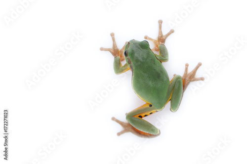 Photo a green treefrog Hyla annectans