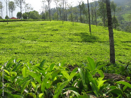 In de dag Lime groen Tea Plantation