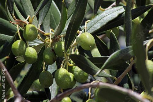 Olivo (Olea europaea) junto al mar mediterraneo