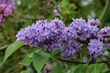 Lilac / Blooming lilac