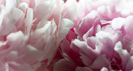 Macro background of peony flower.