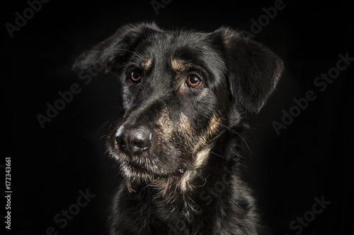Photographie  portrait of a beautiful crossbreed dog on black background