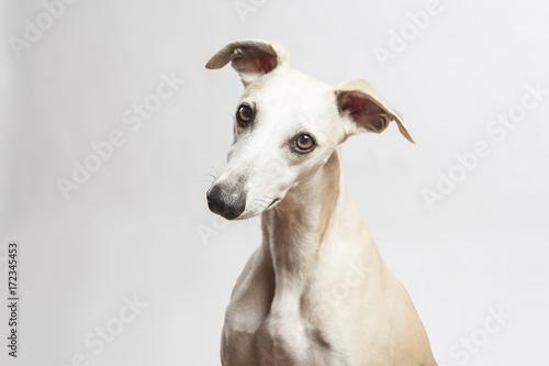 Fotografia studio portrait of a beautiful whippet dog