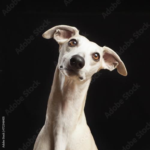 Photo studio portrait of a beautiful whippet dog
