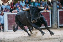 Bull Running In The Bullring