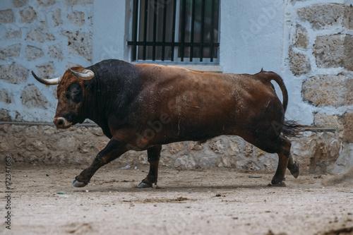 Bull walking in the bullring