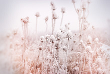 Soft Focus On Hoarfrost On Thistle - Burdock, Morning Fog And Frost In The Meadow