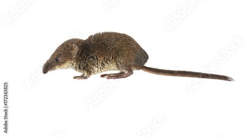 Obraz na plátně Pygmy shrew on white
