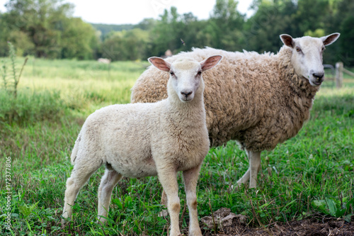 Fotobehang Schapen Baby lamb with mother sheep - BFL (Blueface Leister)