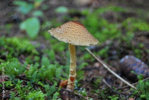 """The poisonous variant of the umbrella fungus - """"Comb umbrella"""" (Lepiota cristata) grows in the forest"""
