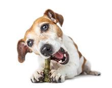 Pet Joy. Cute Dog Enjoying The Bone For Cleaning Teeth And Fresh Breath.  White Background