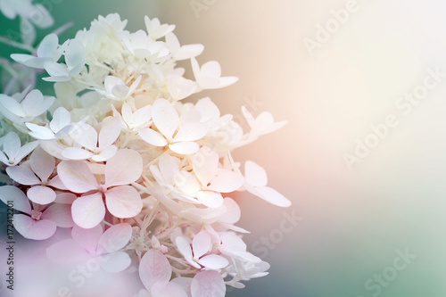 Aluminium Prints Hydrangea Abstract background of hydrangea paniculata flowers