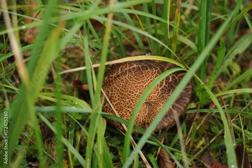 Fotografia  Mushroom bolete (stalk) in the glade