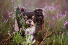 Adorable Chihuahua Dog Portrait