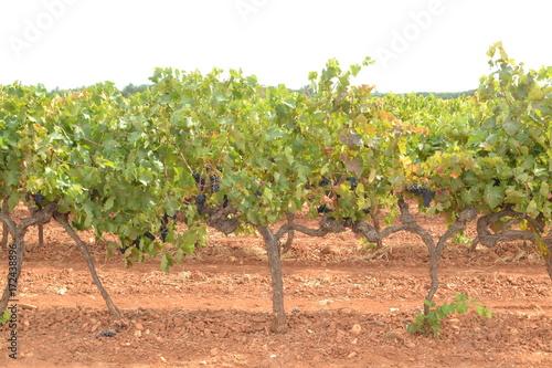 Vineyard rijpe, blauwe druiven aan de wijnstok in de Franse Verdon