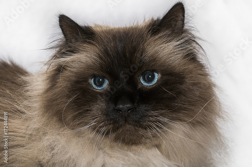 a-blue-eyed-long-haired-cat-with-white-long