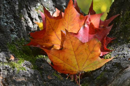 Кленовые листья. Canvas Print
