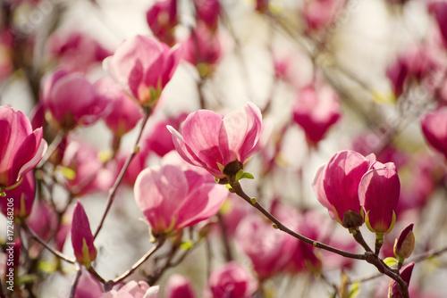 Plakat Kwitnąć różowa magnolia kwitnie w wiosna czasie, kwiecisty tło