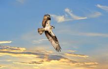 Osprey Soaring Above A Sunst