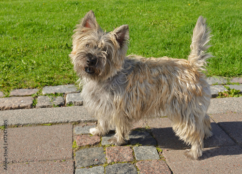 Portrait of Cairn Terrier - Buy this stock photo and explore similar