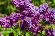 Lilac Flower in Springtime