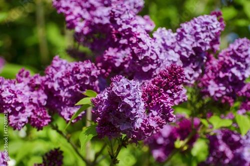 Foto op Plexiglas Lilac Lilac Flower in Springtime