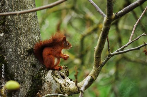 Zdjęcie XXL Wiewiórka siedzi w drzewie