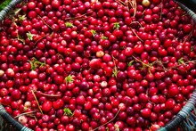 Ripe Red Cranberries