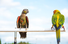 It Is Two Macaw Parrot On Wooden Rail With Blue Sky Background