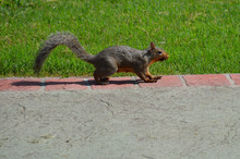 Squirrel Standing On The Edge Of The Driveway, Next To The Green Grass