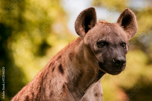 Stampa su Tela close up face of hyena  and eye looking to hunting