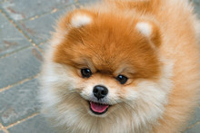 Pomeranian Spitz, Portrait Of The Domestic Dog, Head Closeup