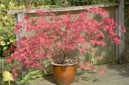 Large red acer in clay pot Canvas Print