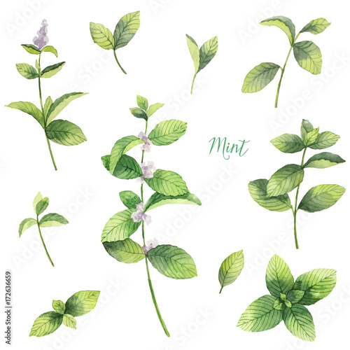 Obraz Watercolor vector set of mint branches isolated on white background. - fototapety do salonu